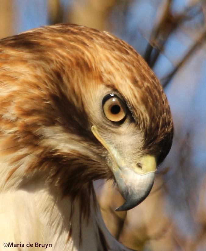 red-tailed-hawk-dk7a6411c2a9maria-de-bruyn