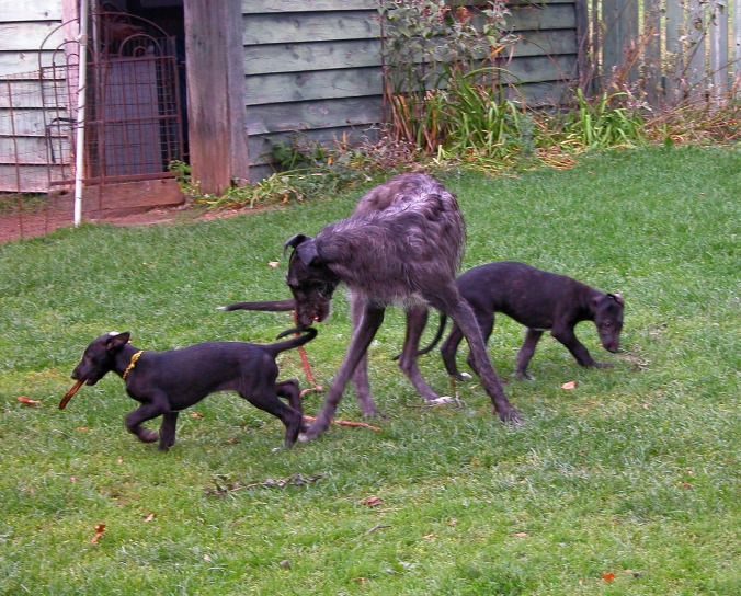 vesper-trying-to-keep-track-of-her-pups