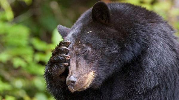 ARKive image GES057925 - American black bear