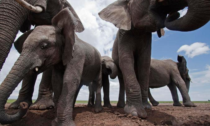 African elephants, Masai Mara National Reserve, Kenya