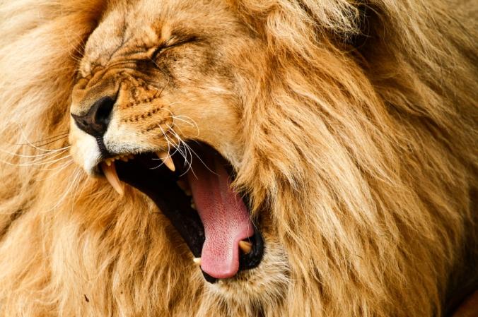 iStock_Lion-Roaring