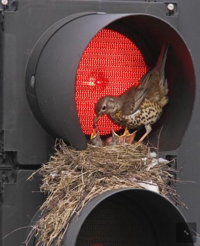 Nest-on-the-traffic-light