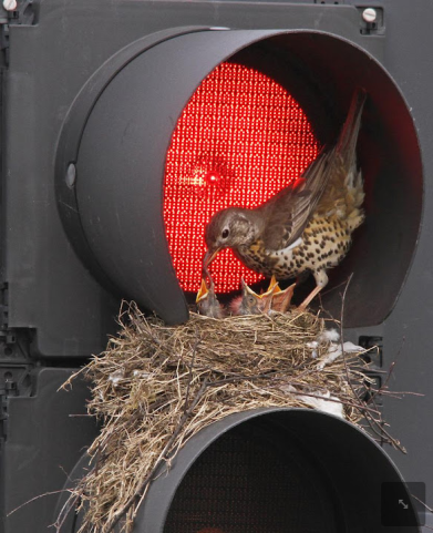 Nest-on-the-traffic-light