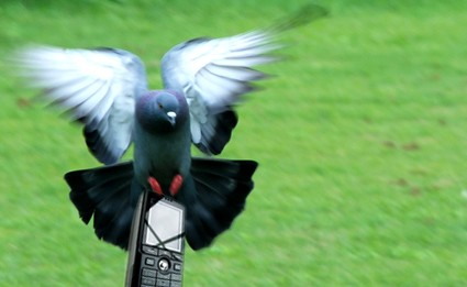 pigeon-cell-phone