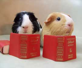 guinea_pigs_with_book