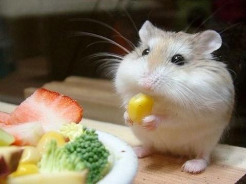 hamster-eating-corn
