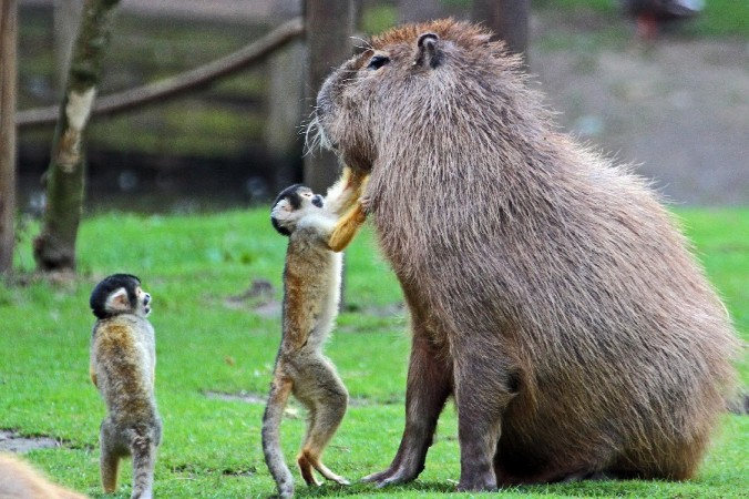 Capybara-Herbs-font-b-Cute-b-font-Gray-Hairs-font-b-Rodent-b-font-Monkeys-Animal.jpg