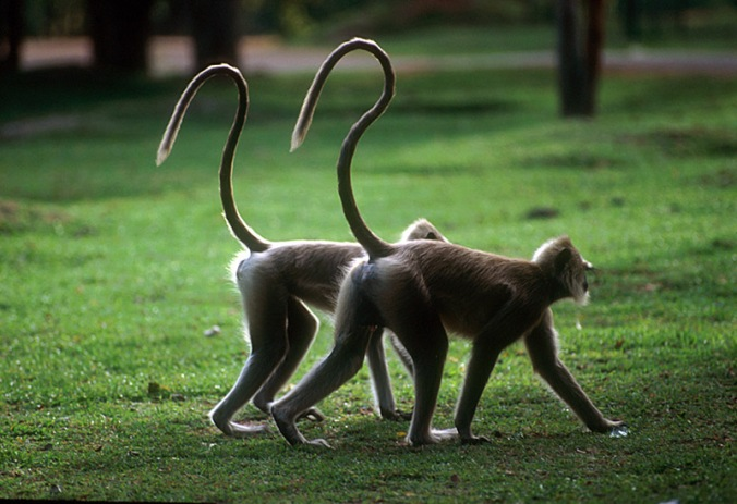 langur_pair_-question_mark