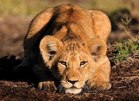 1492__550x400_lion-cub-lewa-wildlife-conservancy